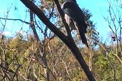 Kereru - native wood pigeon -by the house Aug 2017